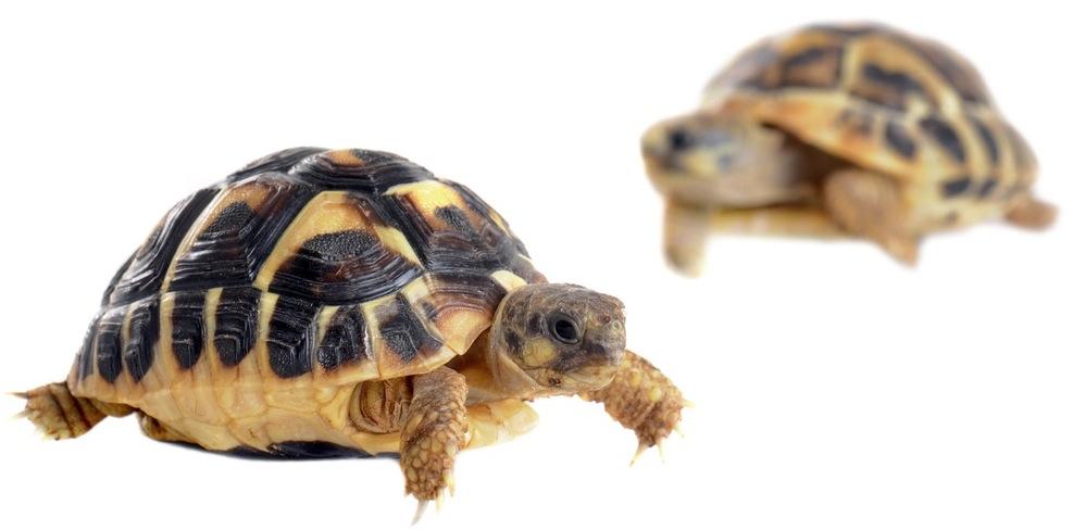 сухопутные черепахи картинки