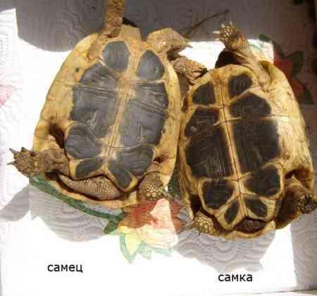 Определение пола черепахи: 5 различий