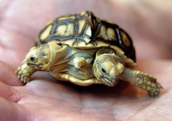 Размножение черепах в домашних условиях, основные моменты 72