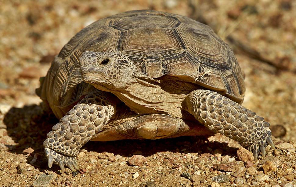 Сухопутная черепаха чем кормить - b0ee5