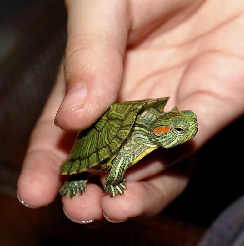 фото маленькой красноухой черепахи