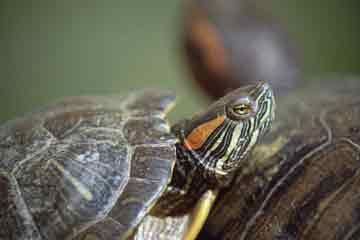 Заболевания красноухих черепах - болезни и лечение