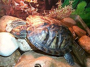 Как и сколько спят красноухие черепахи?