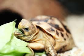 черепаха чем питается