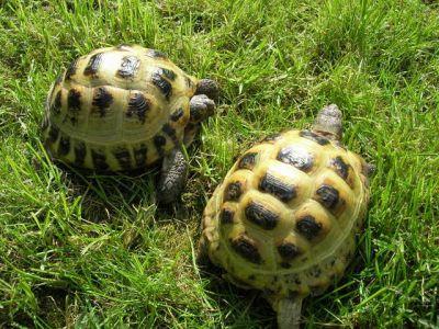 Черепаха среднеазиатская сухопутная - содержание и уход