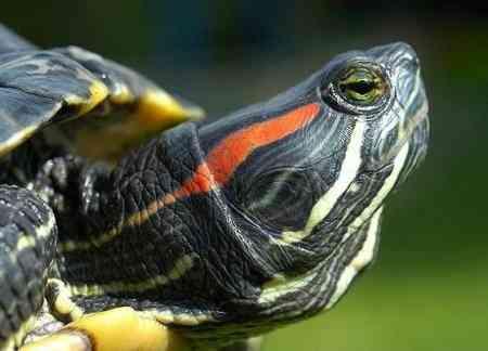 Отит у красноухой черепахи. Лечение, диагностика, профилактика