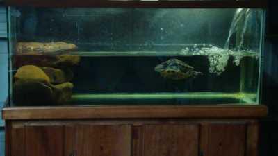 Температура воды для красноухой черепахи в аквариуме