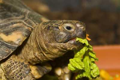 Чем нельзя кормить черепах?