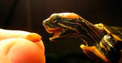 Чем нельзя кормить черепаху?